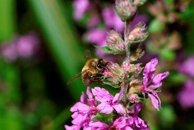 Summ, Summ, Summ – Die Biene, der Imker und das süße Gold
