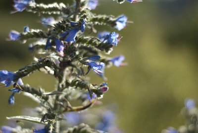 Blaue Lohe auf Gotland, Foto: Claudia Deglau