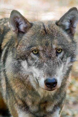 Wolf, Foto: Dr. Tilo Geisel