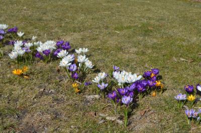 Fotoalbum Frühjahrsboten auf dem Falkenhagener Anger