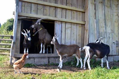 Fotoalbum Halten von vom Aussterben bedrohten Nutztierrassen