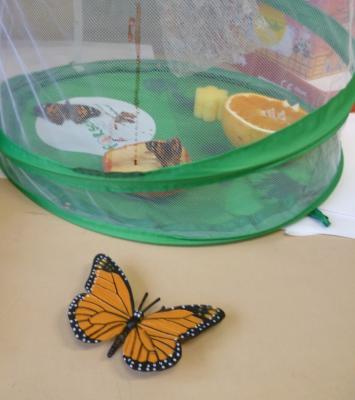 Fotoalbum Schmetterlingszucht Klassen 2a & 2b