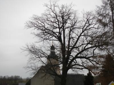 Fotoalbum Rückschnitt der Eiche am Friedhof