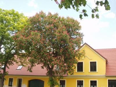 rot und weiß blühende Kastanien säumen die Schönhagener Dorfstraße