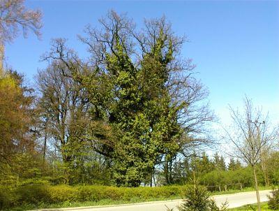 immergrüne Eiche im Park Grambow