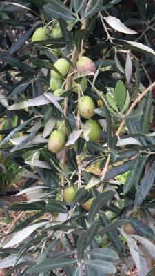 Sonnengereifte sizilianische Oliven