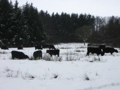 Das Bild zeigt eine Herde Galloways, die sich im Schnee ihr Futter suchen muß.