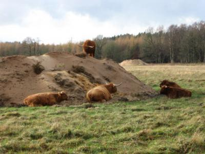 Das Bild zeigt diese Schottischen Hochlandrinder in Großaufnahme.