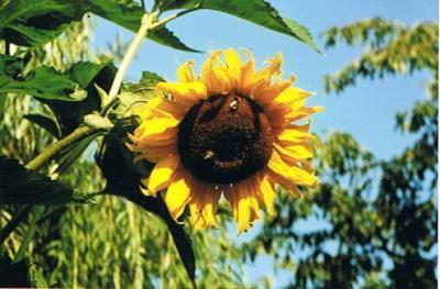 Nachschub für den Sonnenblumenhonig
