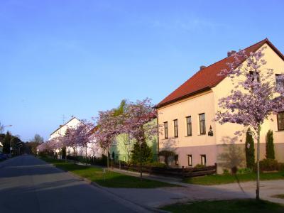 Zierkirschblüte in der Mützlitzer Straße
