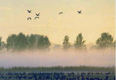 Herbstrast der Kraniche im Rhinluch von Detlef Hase