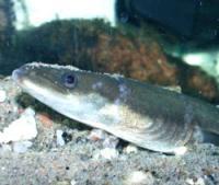 Foto zur Meldung: Fisch des Jahres 2009