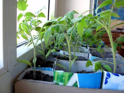 Foto zur Meldung: Unsere Tomatenpflanzen in der Kita Heinersdorf