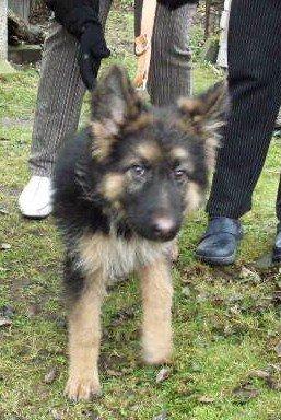 Foto zu Meldung: Mitteilung über den Fund eines Schäferhundes (Welpe)
