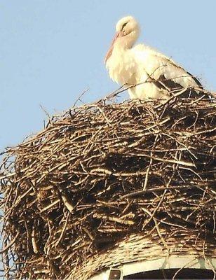 Terminbewusster Weißstorch fliegt in Frankena ein