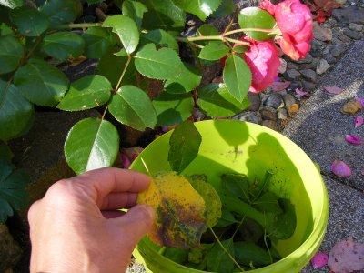 Foto zur Meldung: Von Krankheiten befallene Blätter gehören nicht auf den Kompost