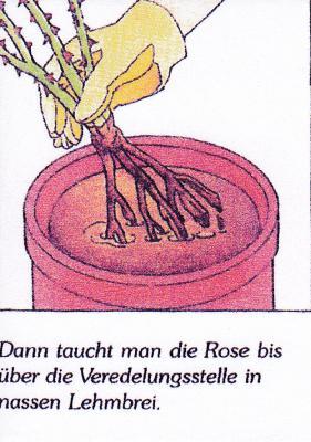 Foto zur Meldung: Pflanzen von wurzelnackten Rosen in sandigem Boden