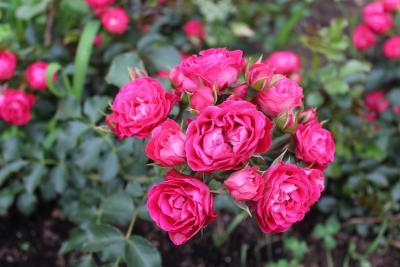 Foto zur Meldung: Dunkelrot und sehr gesund: Wittstock bekommt eine eigene Rose