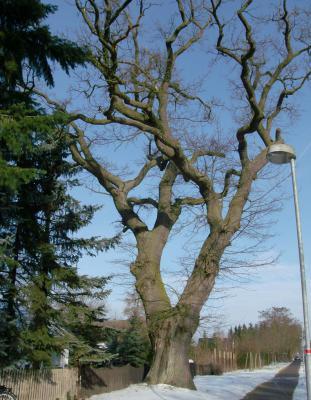 Foto zur Meldung: Ist der älteste Baum von Rehfelde – eine Eiche - in Gefahr?