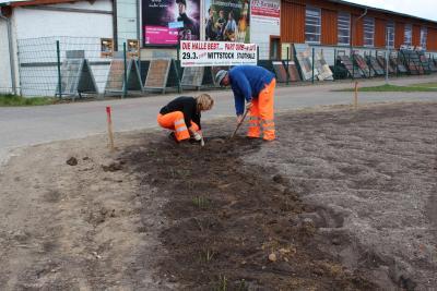 Foto zur Meldung: Fast 1200 Rosenstöcke wurden gepflanzt