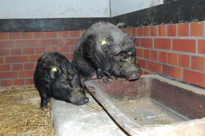 Foto zu Meldung: Minihängebauchschweine und Wasserschildkröten