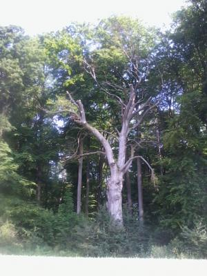 Der große Buchbaum