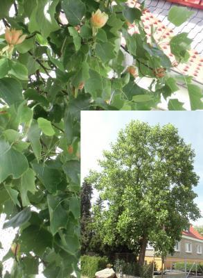 Foto zur Meldung: Tulpenbaum blüht