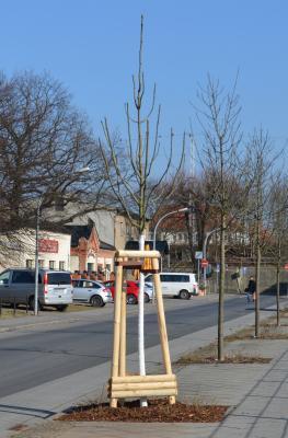 Foto zu Meldung: Stadt Oranienburg lässt 136 Bäume pflanzen