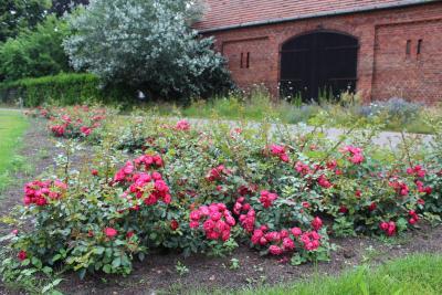 Foto zur Meldung: Wenn die Wittstock-Rose ihren endgültigen Namen bekommt