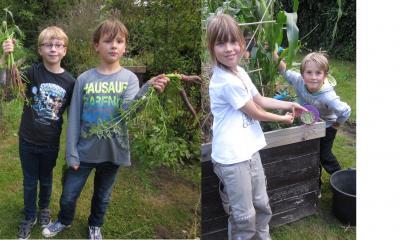 Ernte im Schulgarten: violette Möhren und Erbsen