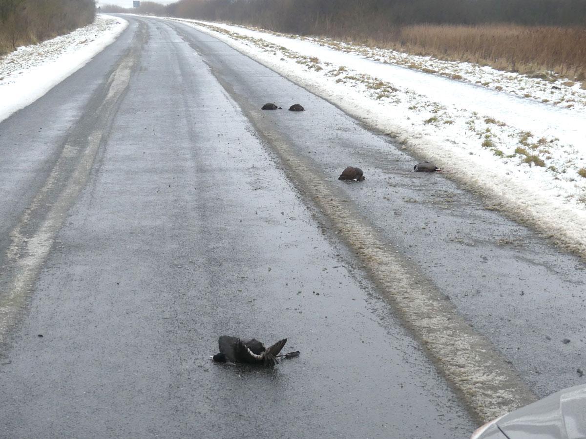 5 tote Bläßhühner