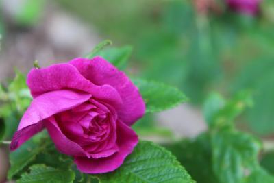 Foto zur Meldung: Rosenpoesie, bei unseren Rosenfreunden in Suhl gefunden ...
