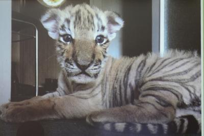 Foto zu Meldung: Wie kam ich zu einem Tigerbaby