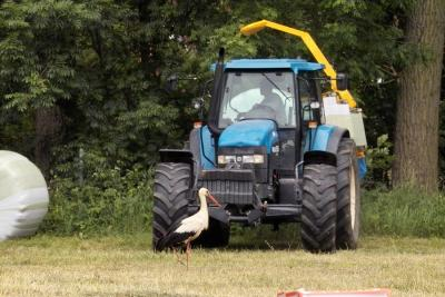 Foto zur Meldung: Besuch eines beringten Weißstorches im Sommer 2009
