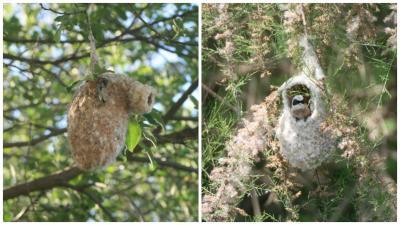 Foto zur Meldung: Beutelmeise wieder Brutvogel im Eichsfeld