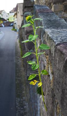 Die Blume der Hoffnung Kirchenburg Walldorf ©Heinrich Frhr. von Berlepsch