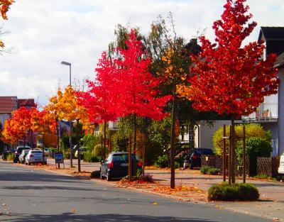 herbstliche Amberbäume in der Konrad-Adenauer-Allee