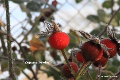 Foto zur Meldung: Hagebutten: eine besondere Freude im Winter