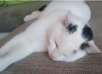Foto zu Meldung: weiß-schwarzer Kater in Eugenienberg gefunden