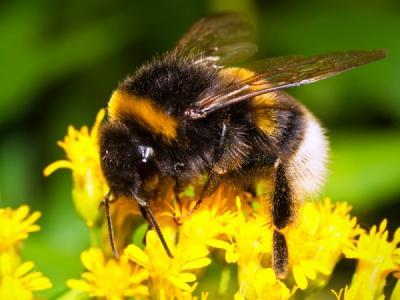 """Vorschaubild zur Meldung: Ausstellung im Neuen Rathaus: """"Hummeln - Bienen im Pelz"""""""