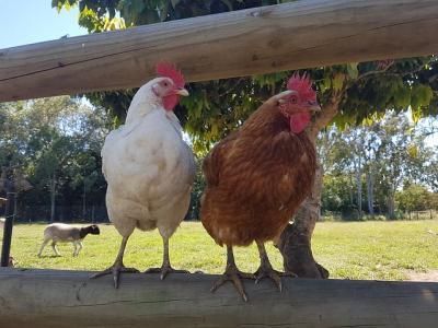 Vorschaubild zur Meldung: Achtung! Aufhebung der generellen Pflicht zur Aufstallung von Geflügel und Beibehaltung weiterer Maßnahmen zum Schutz gegen die aviäre Influenza