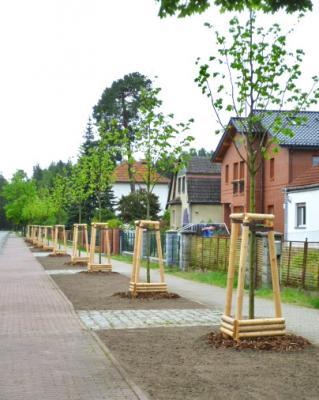 Foto zu Meldung: Grüne Stadt: Mehr als 80 neue Bäume in Oranienburg gepflanzt