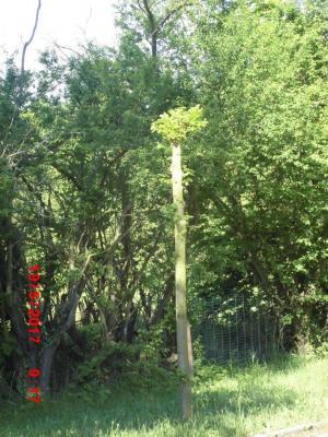 Foto zu Meldung: Baumschnittarbeiten in der Stadt Genthin