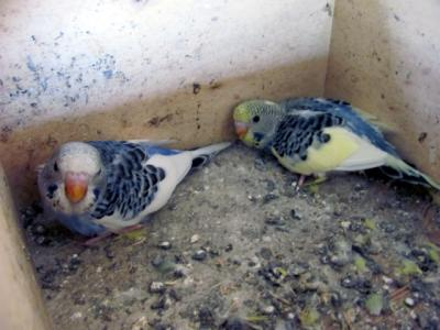 Foto zur Meldung: Nachwuchs in der Vogelvoliere