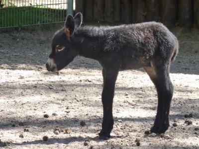 Vorschaubild zur Meldung: Nachwuchs bei der Eselfamilie im Perleberger Tierpark