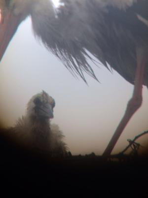 Foto zur Meldung: Der Schafflunder Storchennachwuchs