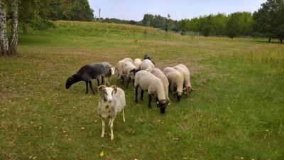 Schafe beweiden Flächen des Friedhofs in der Kremmener Straße
