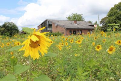 Foto zur Meldung: Sonnenblumen statt Brache – ein Paradies für Bienen