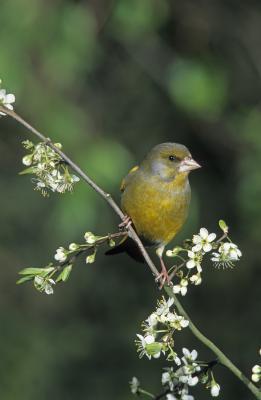 Auch der Grünfink ist vom Vogelsterben betroffen