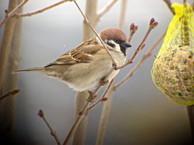 Vorschaubild zur Meldung: NABU: Vögel füttern in Herbst und Winter